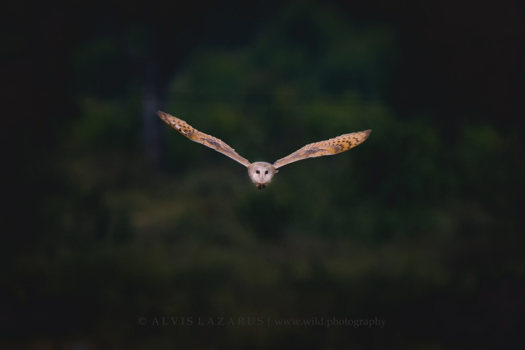 barn-owl bird-in-flight owl-headon-flight wildlife-photography