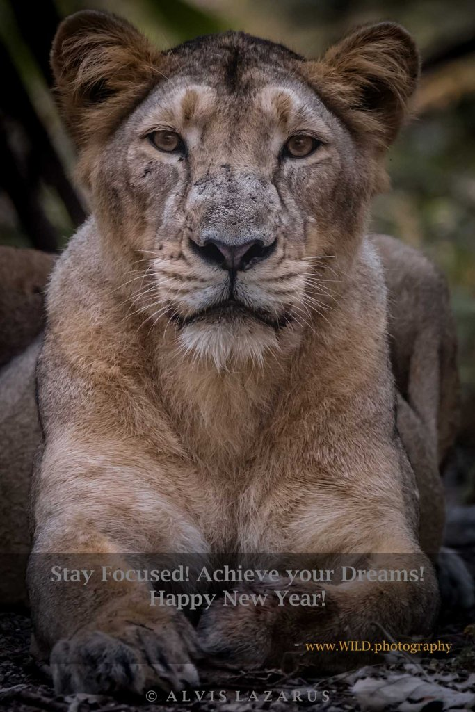 asiatic-lions wildlife-photography lion-portrait