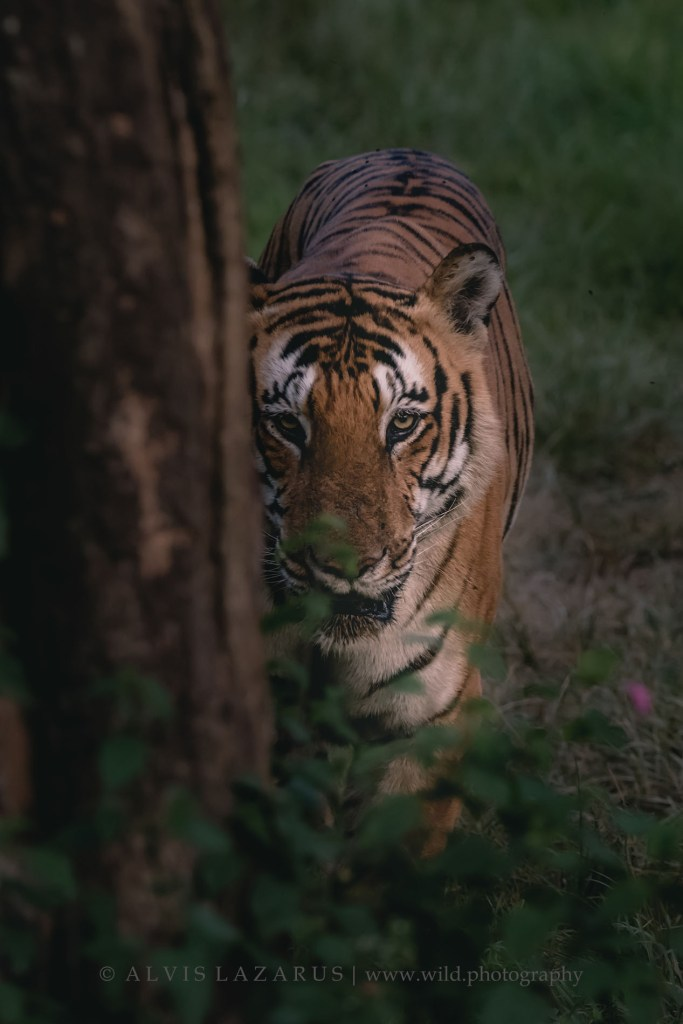 tiger-portrait-india bengal-tiger-walk wildlife-photographer bandipur-national-park