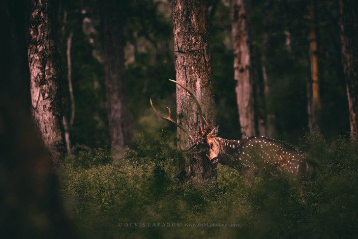 Spotted Deer Itching Antler on Tree