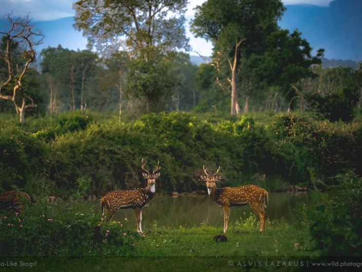 chital spotted deer bandipur national park