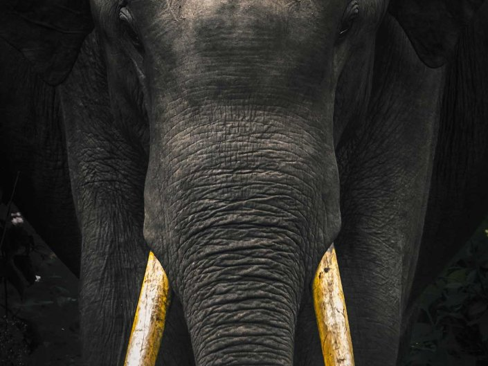 wild bull elephant tusker india portrait wildlife photography