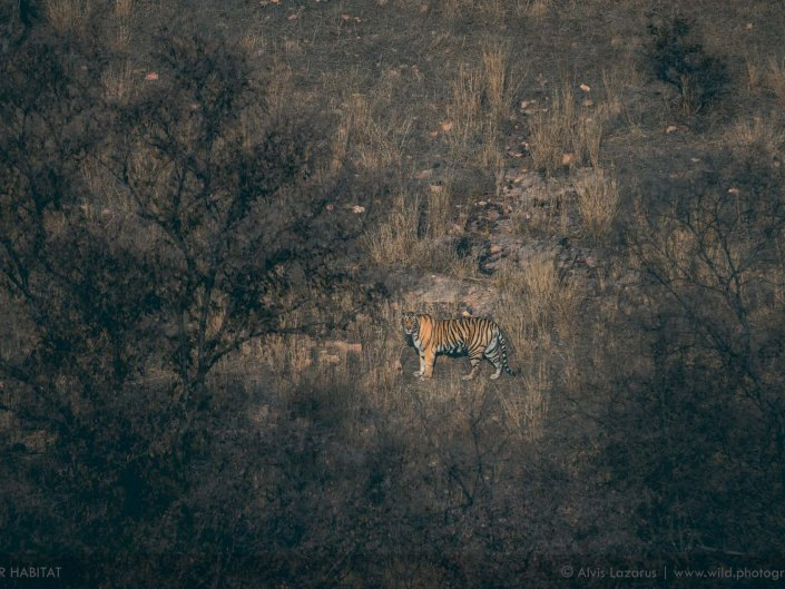 tiger-habitat tigress wildlife photographer wildlife photography