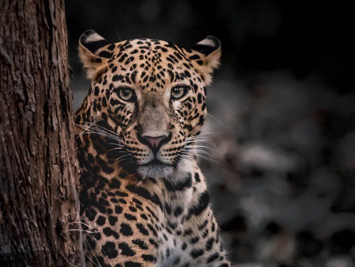 wildlife, wild, leopard, nature, travel, wildlife photography, alvis lazarus photography, alvis, big cat
