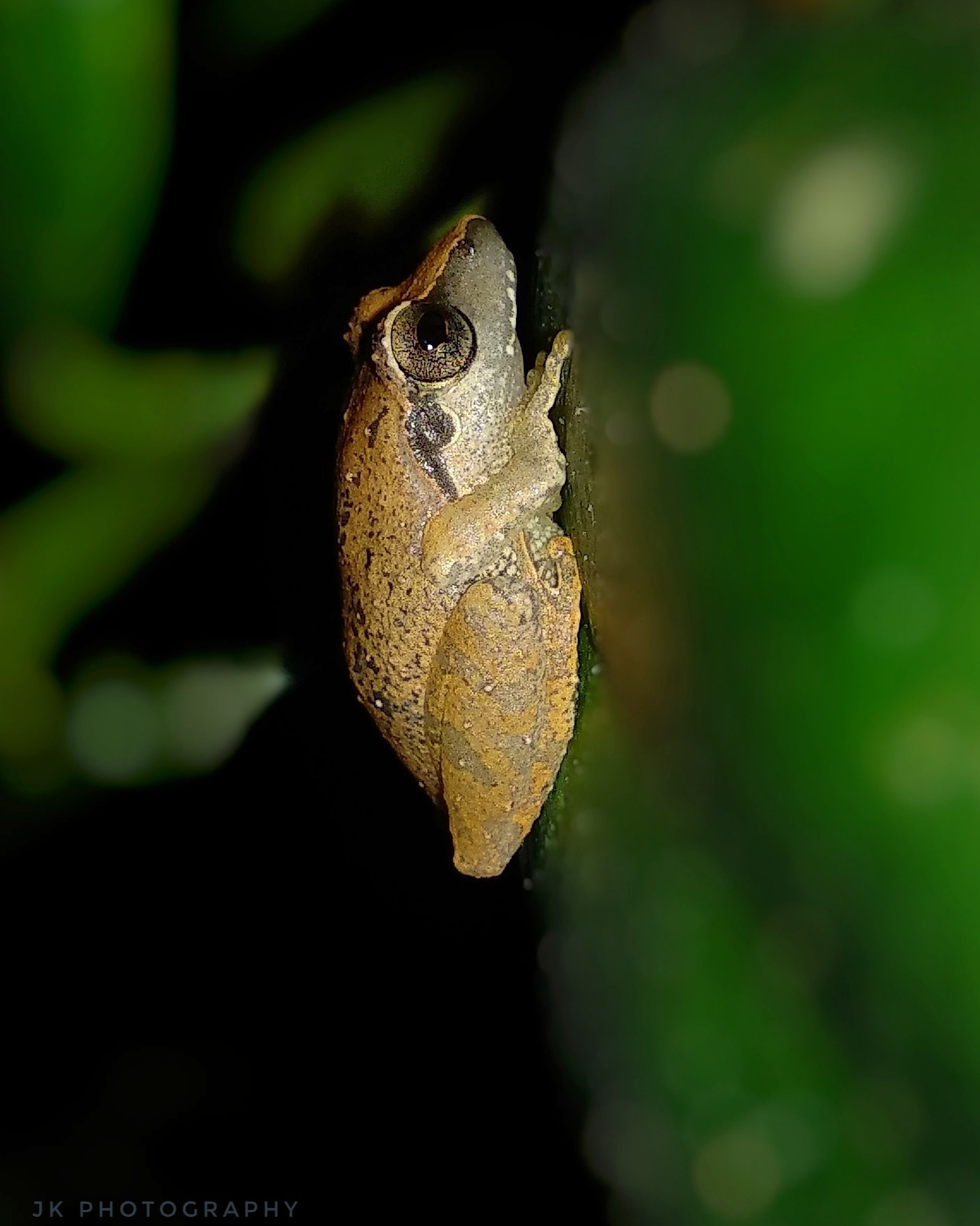 Bush Frog | In the night that I went out for taking pictures, I came to notice a frog that is resting on a leaf. It have spectacular eyes and I took the photograph of the beautiful scene with the help of camera flash.