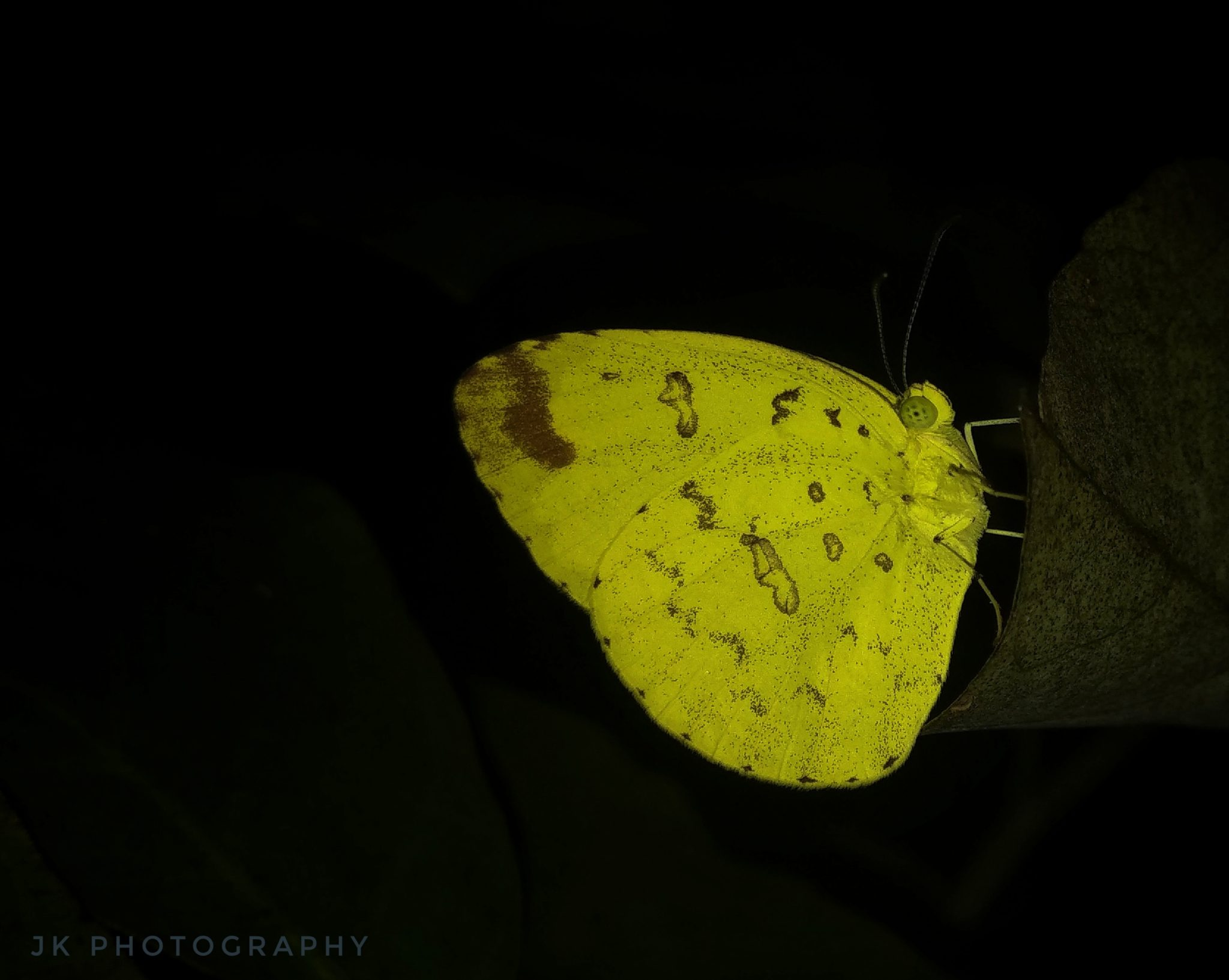 Common grass yellow (Eurema hecabe) Shoot On Mi A1 Stock Camera A bright yellow colored moth came to my sight when I was in my garden. It landed onto the bush plant of my garden. I got curious about its color which resulted in taking this picture. I used flashlight of my camera for a near to perfect capture.