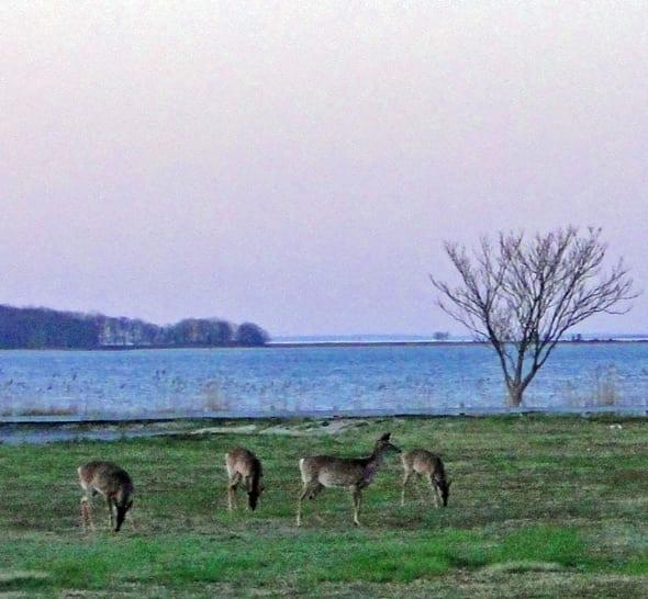 Deer by water behind our garden