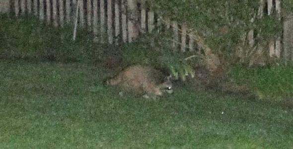 Wildlife in my garden racoon