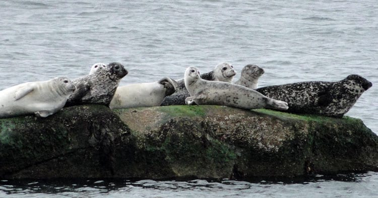 seal haul out south fork long island