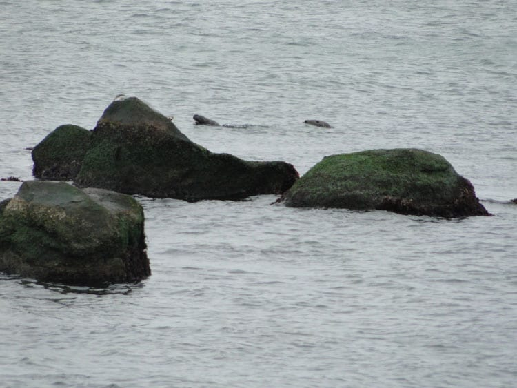 seals swimming rocks