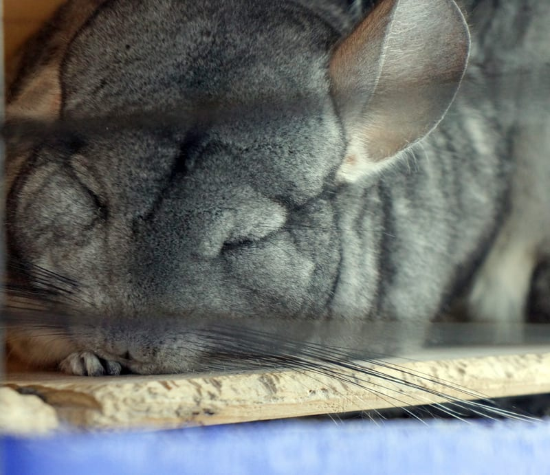 sleeping chinchilla in cage