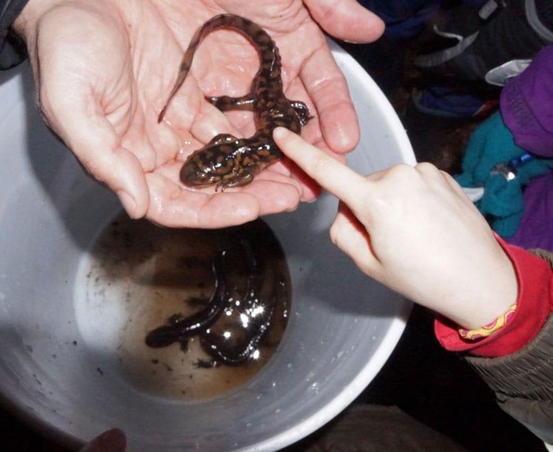 theo stroking eastern tiger salamander