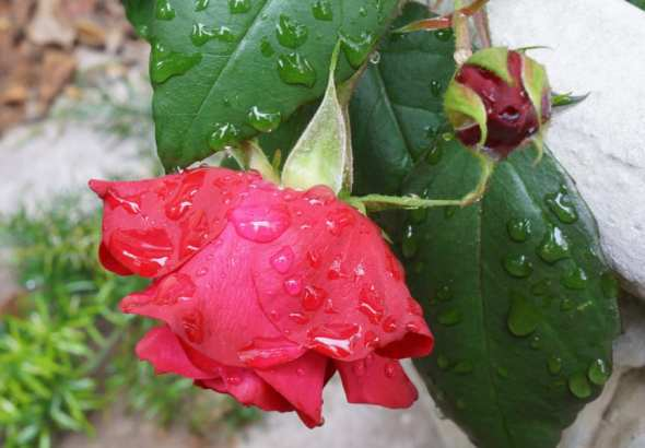 raindrops red rose