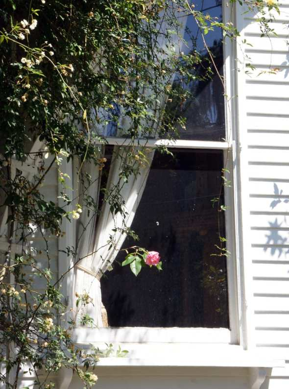 rose savannah window