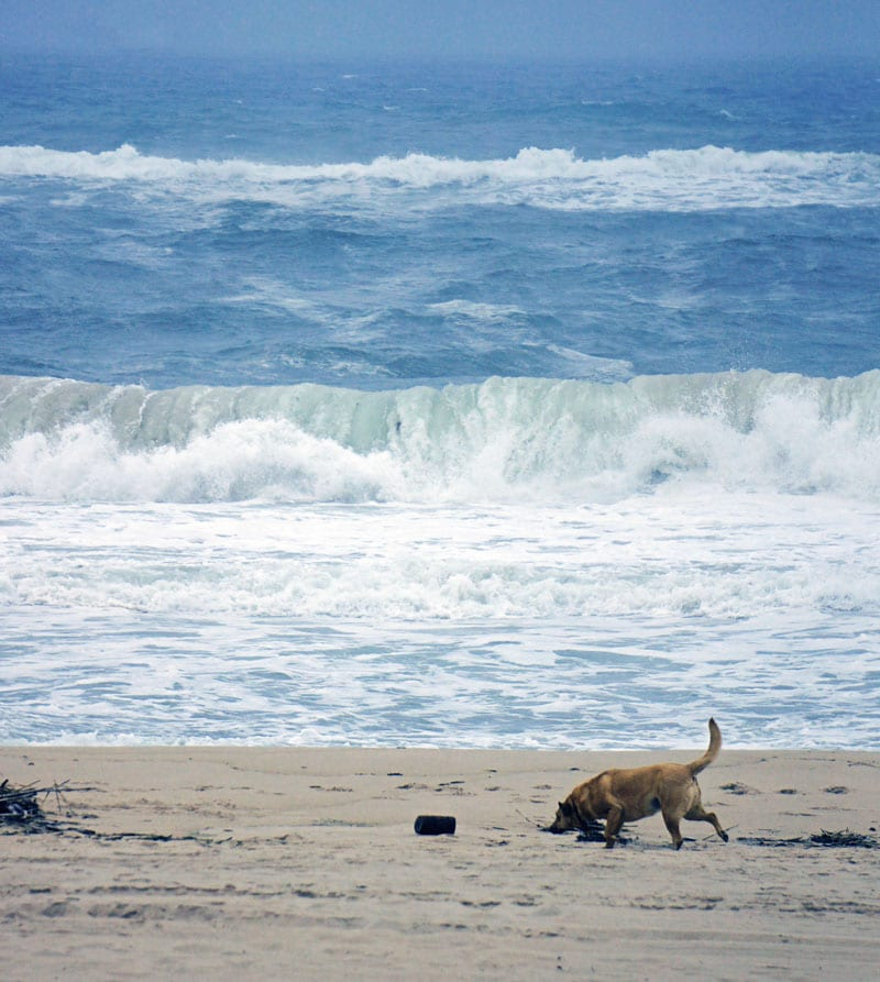 Dog on Indian Wells Beach Amagansett