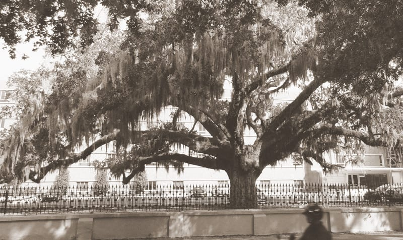 Candler Oak in Savannah