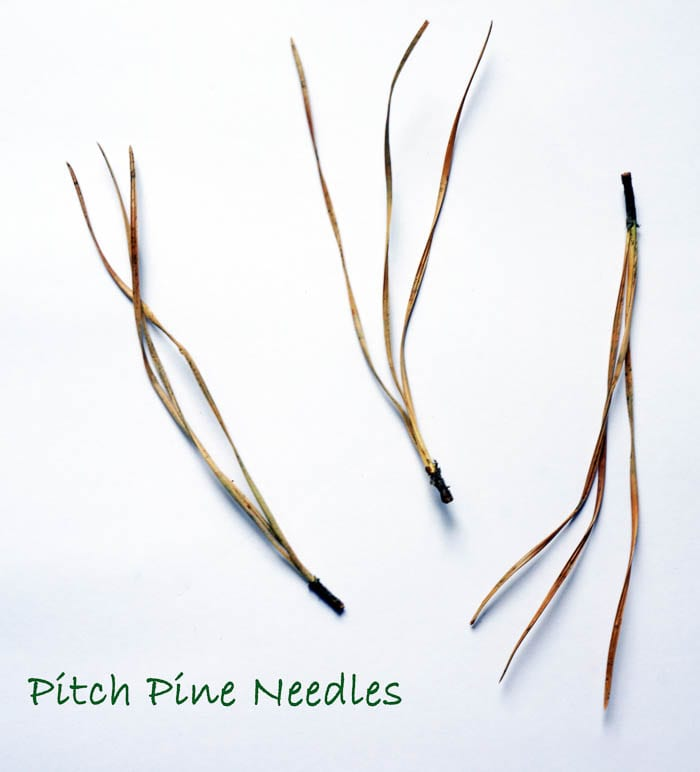 Nature Detectives pitch pine needles