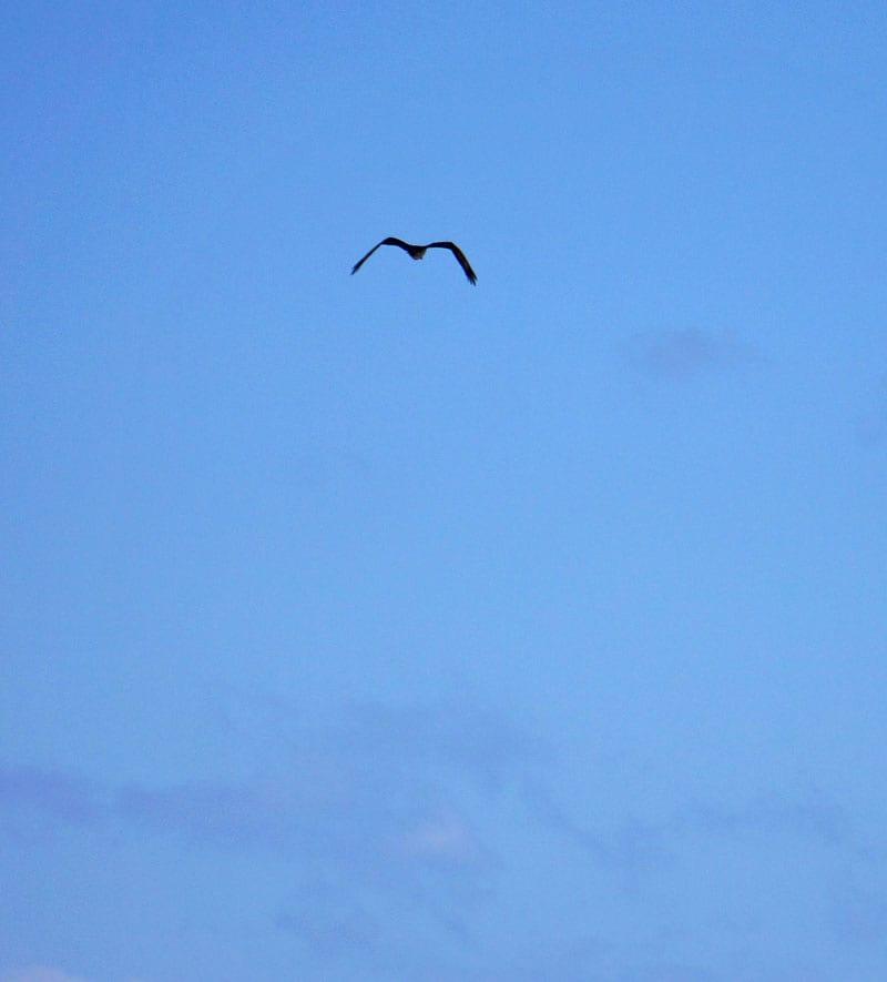 Osprey wings M shape