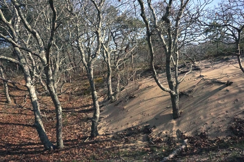 Sand from Walking Dune taking over forest
