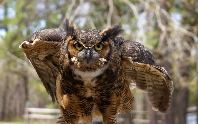 Great Horned Owl at Wildlife Rescue Center in the Hamptons