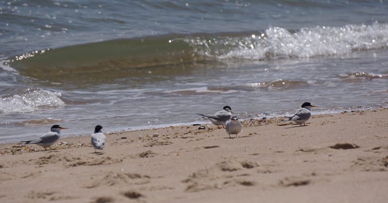 Least Terns on Main Beach East Hampton Village
