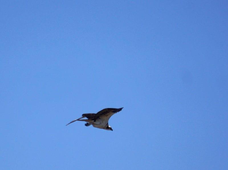 Osprey in sky
