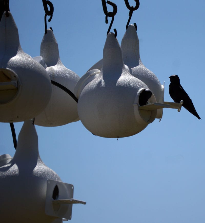 Purple Martins in nest pods