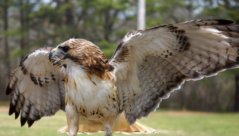 Red Tailed Hawk with wings open