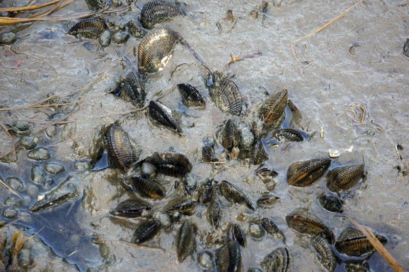 clams and shells in mud