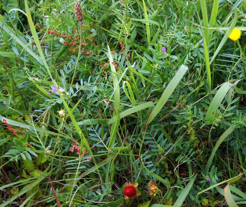 Wild strawberry amid wild flowers