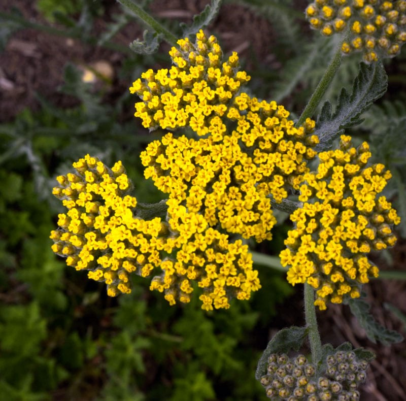 Yellow flower clusters