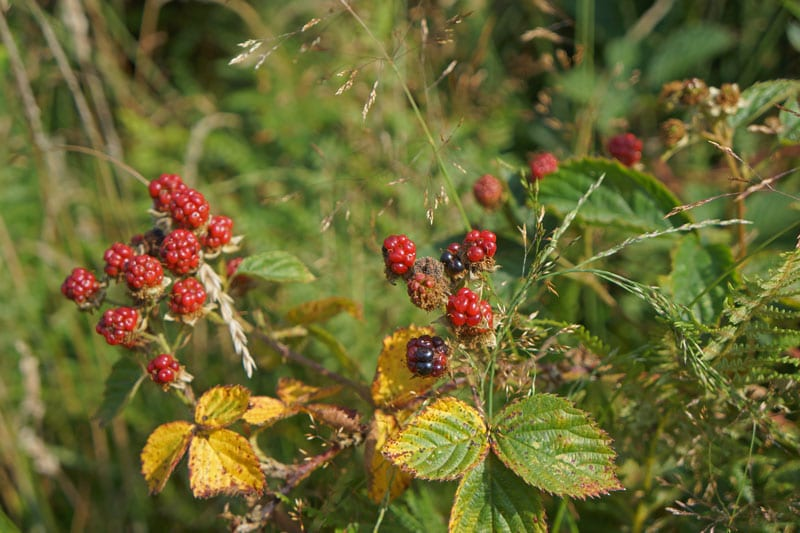 Unripe blackberries in Ashdown Forest