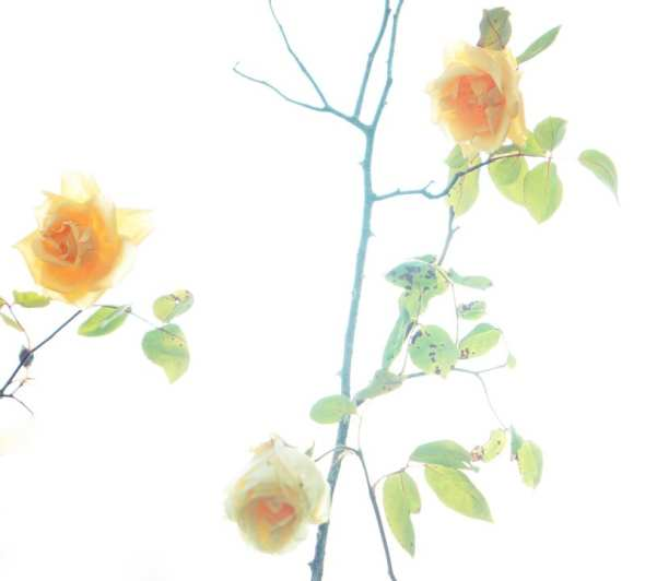 peach roses and stems