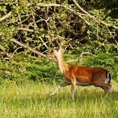 Wildlife spotter adventure – Fallow Deer