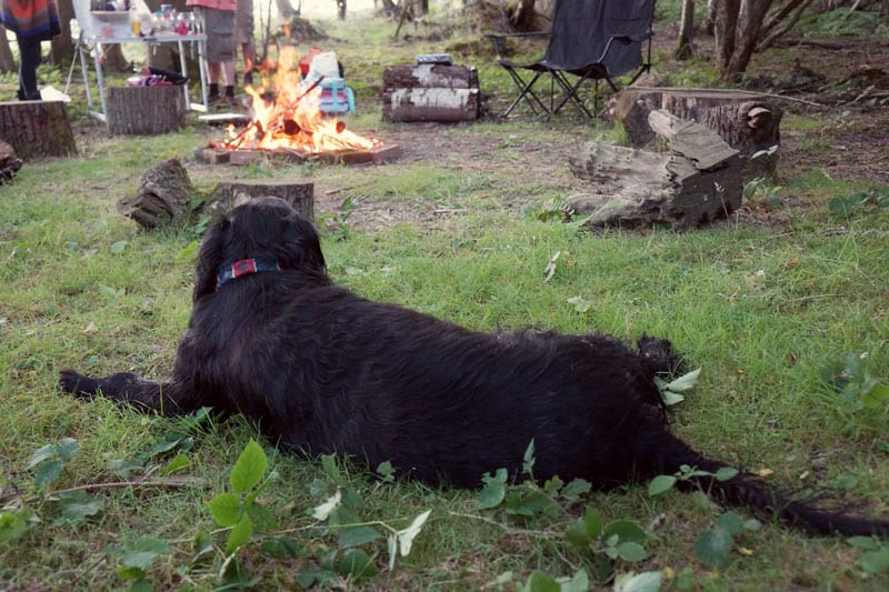 retriever watching campfire