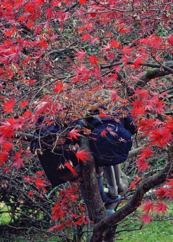 Luce Theo climbing Japanese maple