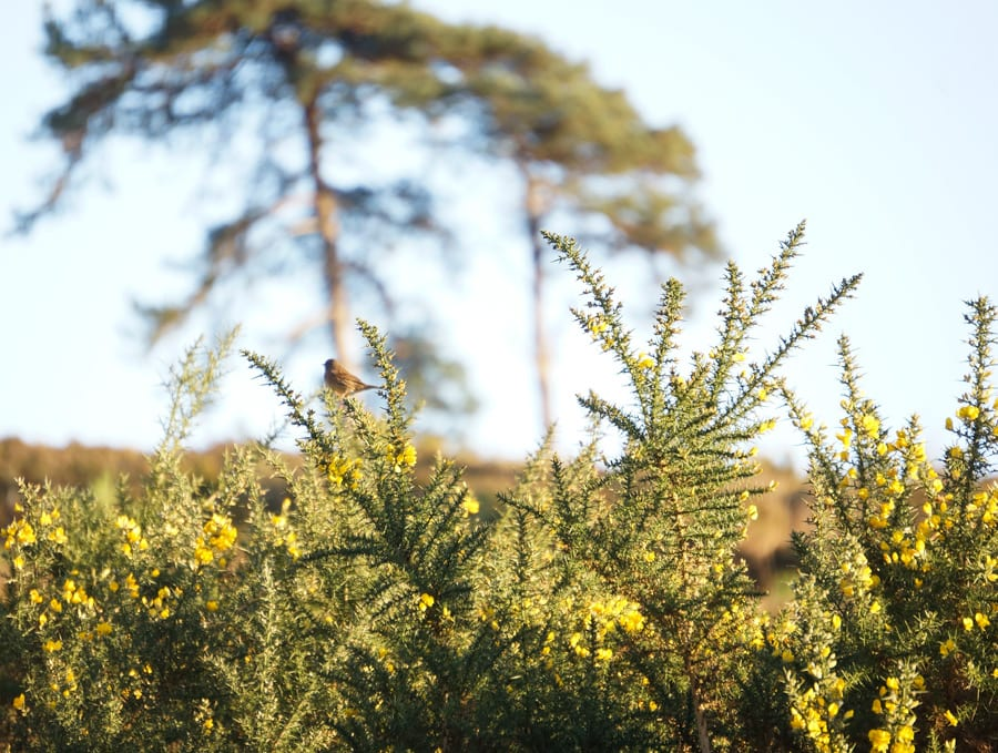 bird on gorse bush
