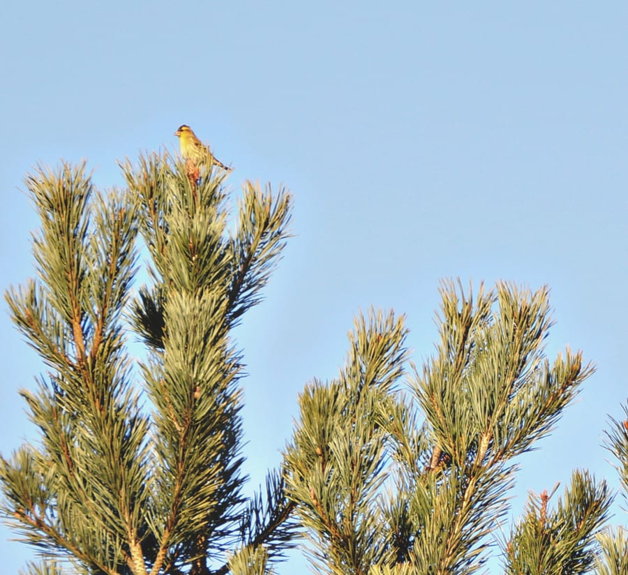 siskin wild bird on top of pine tree
