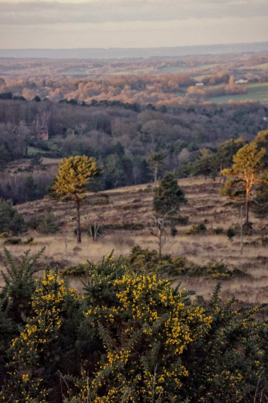 gorse ashdown forest