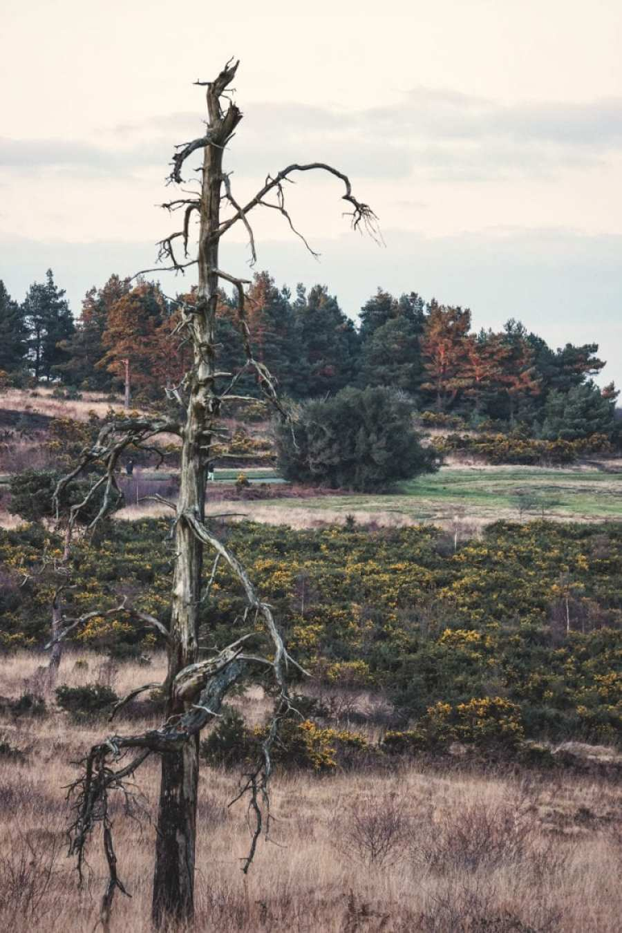 ashdown forest landscape with gorse