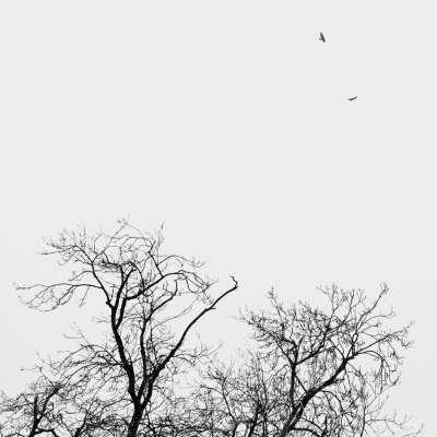 Buzzards – that is British ones