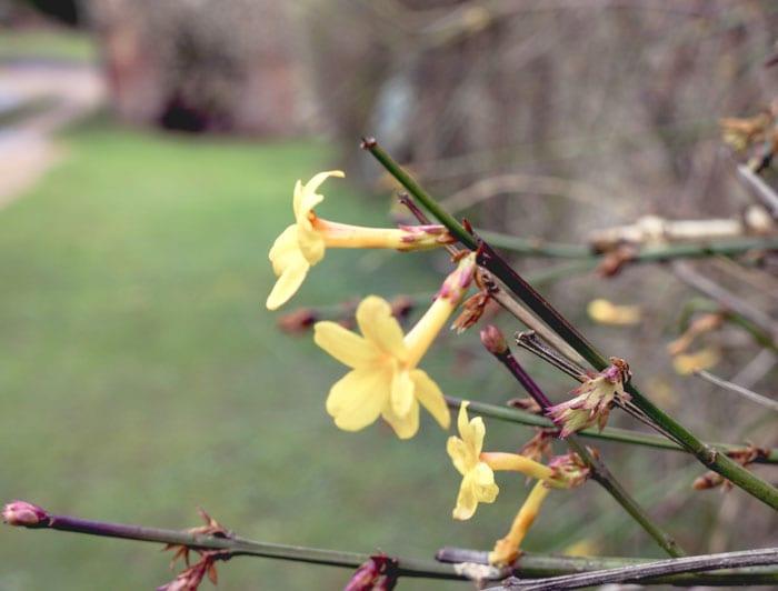 yellow jasmine