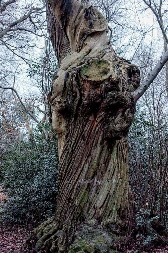 Bark on ancient chesnut in winter