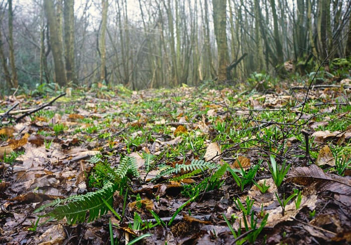 Ferns and bluebell shoots in woods