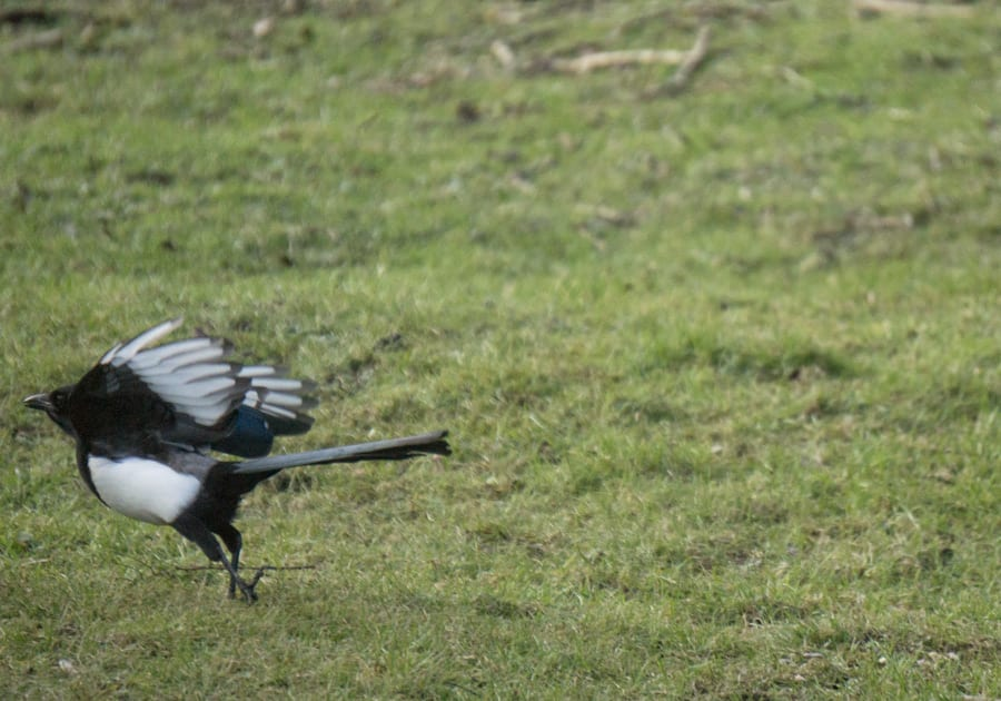 Magpie taking off
