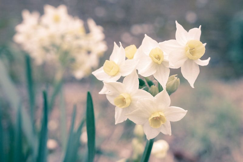 Bunch Daffodils - Narcissus Tazetta
