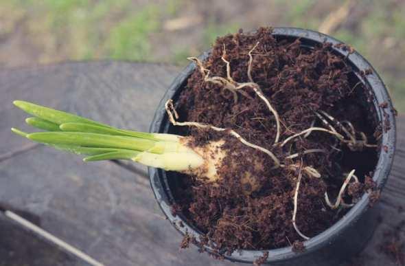 Daffodil bulb and shoots