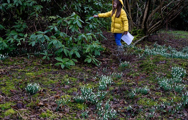 counting snowdrops