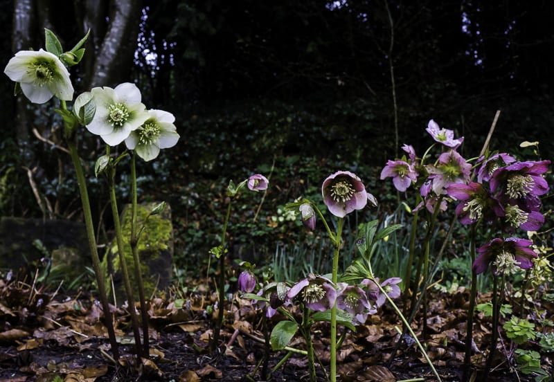 Hellebores in flower bed