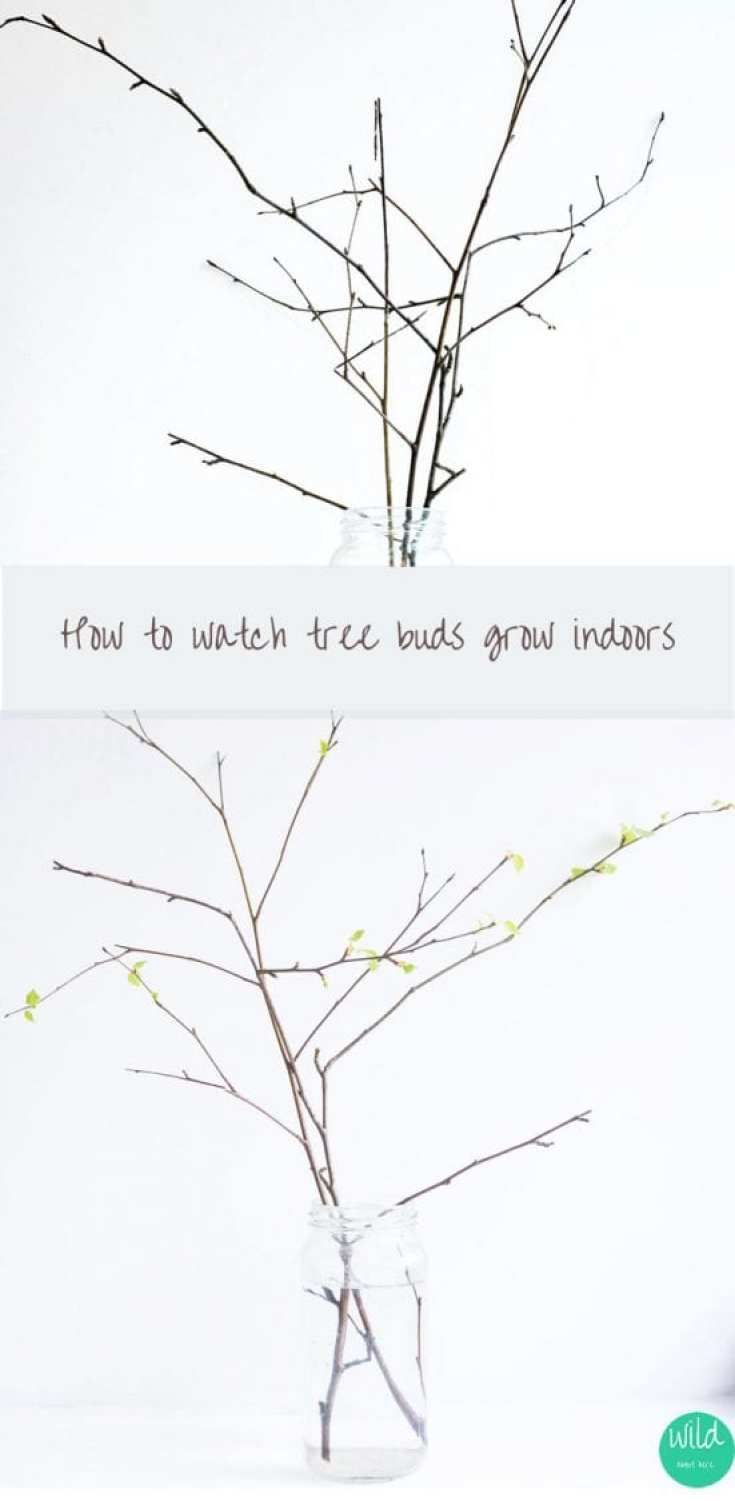 How to grow tree buds indoors